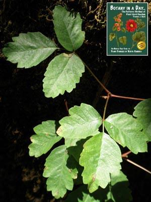 Anacardiaceae Cashew Or Sumac Family Identify Plants