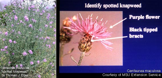 Centaurea maculosa: Spotted Knapweed with Plant Identification Characteristics.