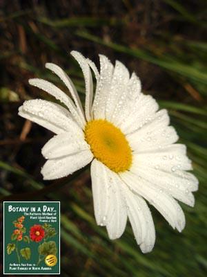 Leucanthemum vulgare: Oxeye Daisy