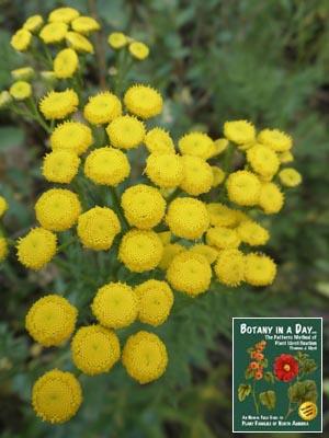 Tanacetum vulgare: Common Tansy