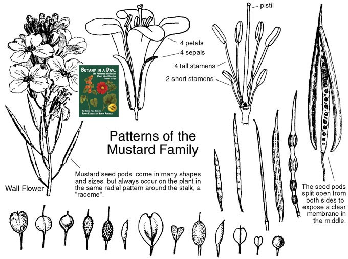 http://www.wildflowers-and-weeds.com/Plant_Families/Brassicaceae_pics/Brassicaceae.jpg