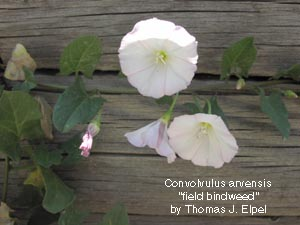 Convolvulus arvensis. Field Bindweed.