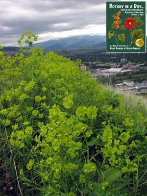 Euphorbia esula: Leafy Spurge.