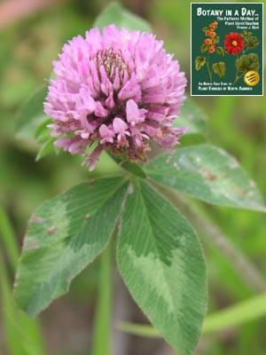 Trifolium pratense: Red Clover.