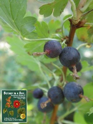 Grossulariaceae Gooseberry Family Identify Plants
