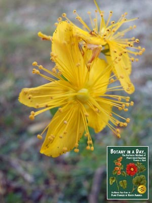 Hypericum perforatum: St. Johnswort.