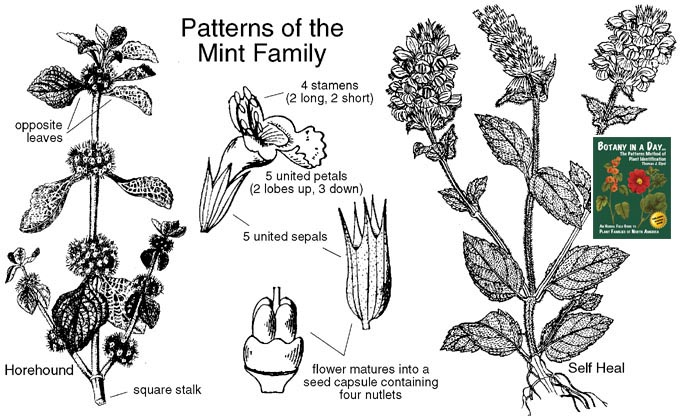 Lamiaceae: Wildflowers of the Mint Family (Labiatae). Pictures and ...