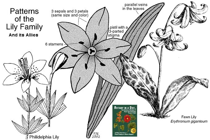 Chocolate Lily Drawing Liliaceae Lily Family Plant