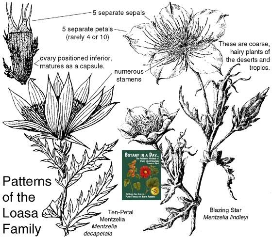 Loasaceae Loasa Family Identify Plants Flowers Shrubs