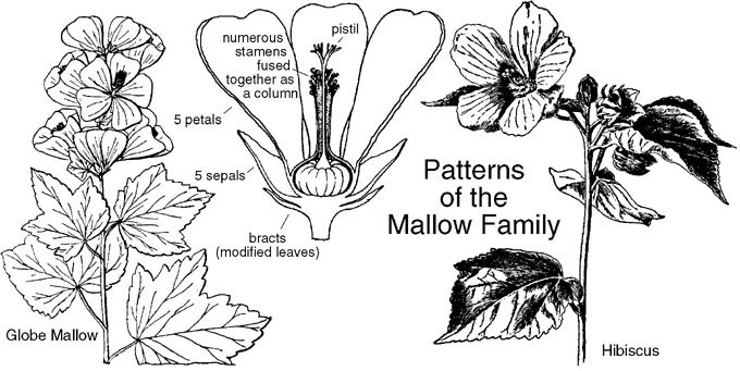 malvaceae  mallow family  identify plants  flowers  shrubs