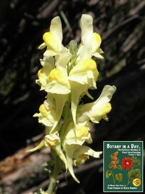 Linaria vulgaris: Butter-and-Eggs Toadflax.
