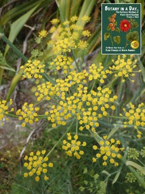 Common weeds of new zealand introduced and invasive species fennel foeniculum vulgare mightylinksfo