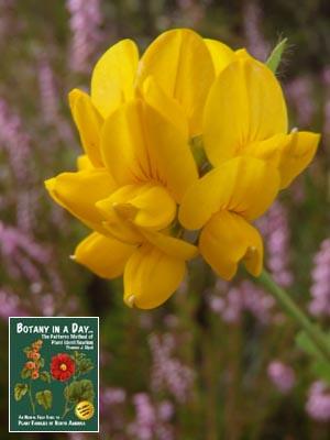 Common weeds of new zealand introduced and invasive species birds foot trefoil lotus corniculatus mightylinksfo