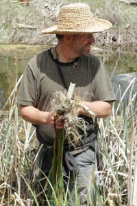 Thomas J. Elpel gathering Cattails.