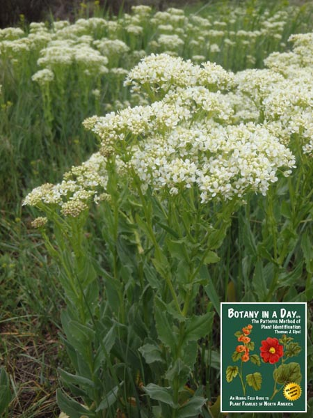 Lepidium draba: Whitetop or Hoary Cress.
