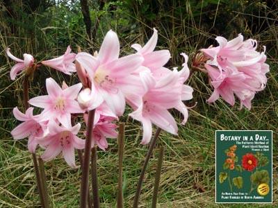 Amaryllidaceae amaryllis family identify plants and flowers amaryllis amaryllis belladona mightylinksfo
