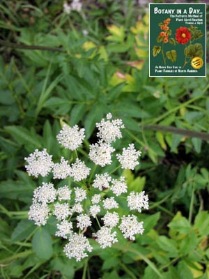 Apiaceae: Parsley or Carrot Family  Identify herbs, plants, and flowers