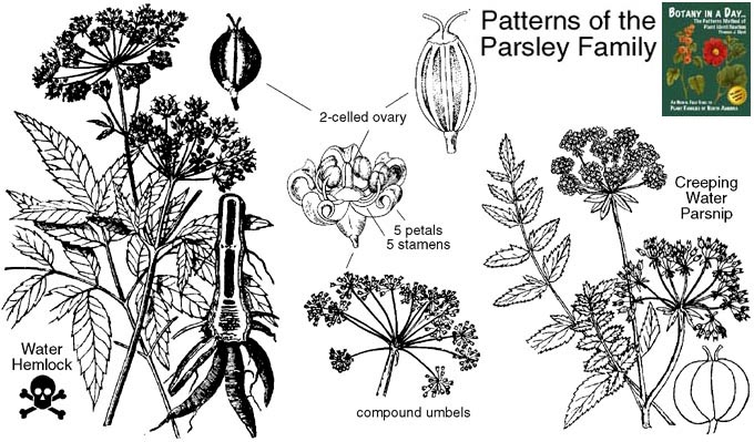 apiaceae  parsley or carrot family  identify herbs  plants