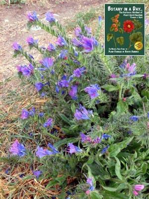 Boraginaceae: Borage Family  Identify plants, flowers, shrubs and trees