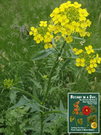 Brassicaceae: Mustard Family  Identify plants, weeds, and flowers