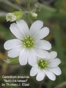 Caryophyllaceae pink family identify plants and flowers cerastium arvense field chickweed mightylinksfo
