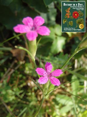 Caryophyllaceae pink family identify plants and flowers deptford pink mightylinksfo
