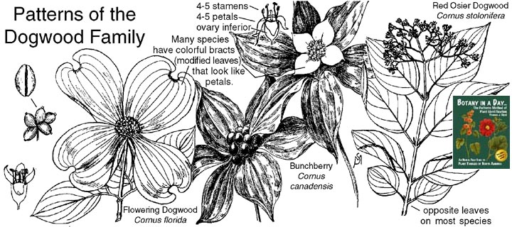 Cornaceae dogwood family identify plants flowers shrubs and trees cornaceae dogwood family plant identification characteristics mightylinksfo