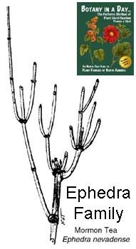Ephedraceae: Ephedra or Mormon Tea Family  Identify plants
