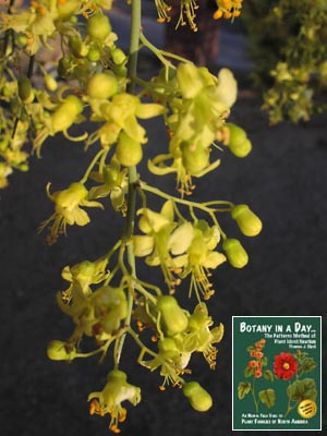 Fabaceae legume or pea family identify plants flowers shrubs and cercidium microphyllum palo verde tree mightylinksfo