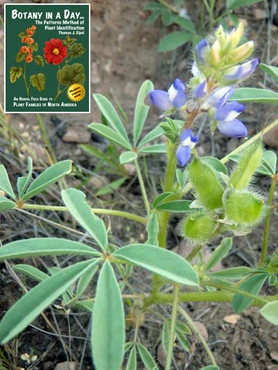 Fabaceae: Legume or Pea Family  Identify plants, flowers