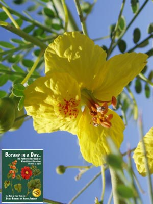 Fabaceae legume or pea family identify plants flowers shrubs and parkinsonia florida blue palo verde mightylinksfo