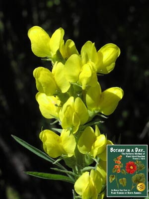 Fabaceae Legume Or Pea Family Identify Plants Flowers Shrubs And