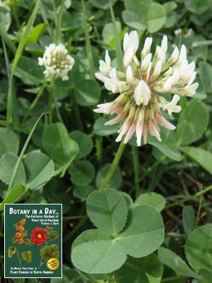 Fabaceae legume or pea family identify plants flowers shrubs and white clover mightylinksfo