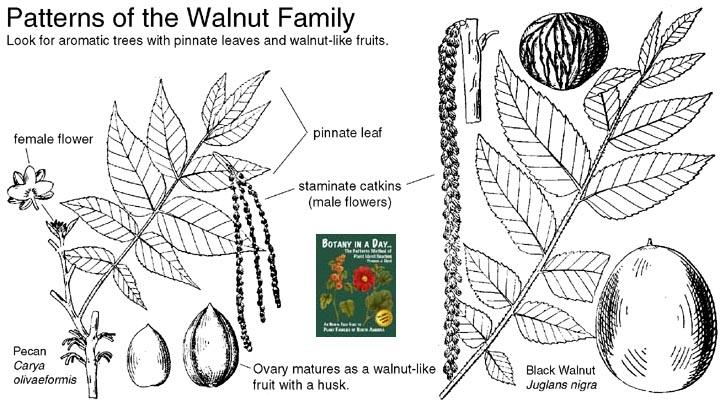 Juglandaceae: Walnut Family  Identify plants, flowers
