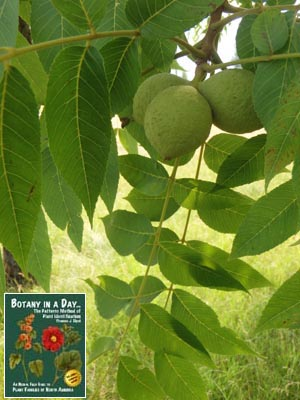 Juglandaceae: Walnut Family  Identify plants, flowers