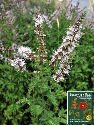 Lamiaceae: Mint Family (Labiatae)  Identify plants and flowers