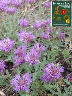 Mountain Coyote Mint