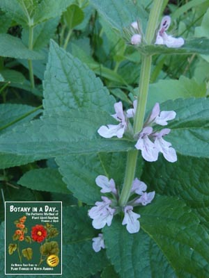 Lamiaceae: Mint Family (Labiatae)  Identify plants and flowers