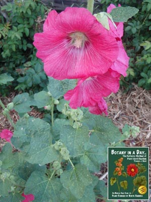 Malvaceae: Mallow Family  Identify plants, flowers, shrubs, trees