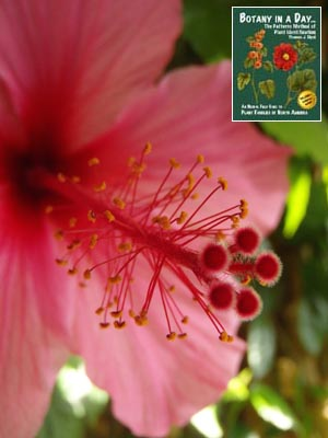 Malvaceae Mallow Family Identify Plants Flowers Shrubs Trees