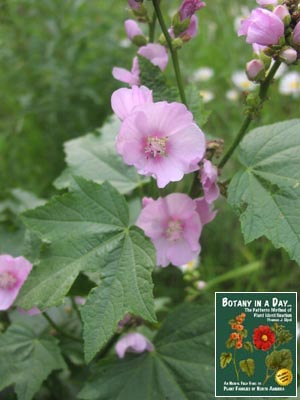 Malvaceae mallow family identify plants flowers shrubs trees iliamna rivularis mountain hollyhock mightylinksfo