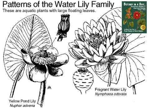 Nymphaeaceae: Water Lily Family. Identify plants and flowers.Wildflowers and Weeds
