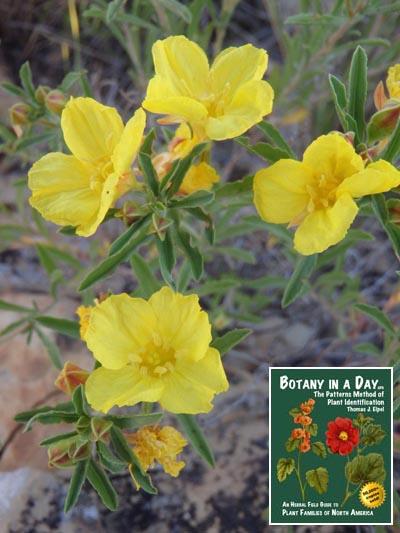 Onagraceae evening primrose family identify plants flowers and yellow suncups mightylinksfo