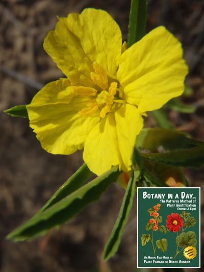 Onagraceae Evening Primrose Family Identify Plants Flowers And