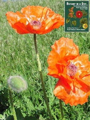 Papaveraceae poppy family identify plants and flowers ornamental poppy mightylinksfo