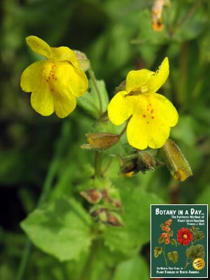 Phrymaceae lopseed family identify plants and flowers yellow monkey flower mightylinksfo