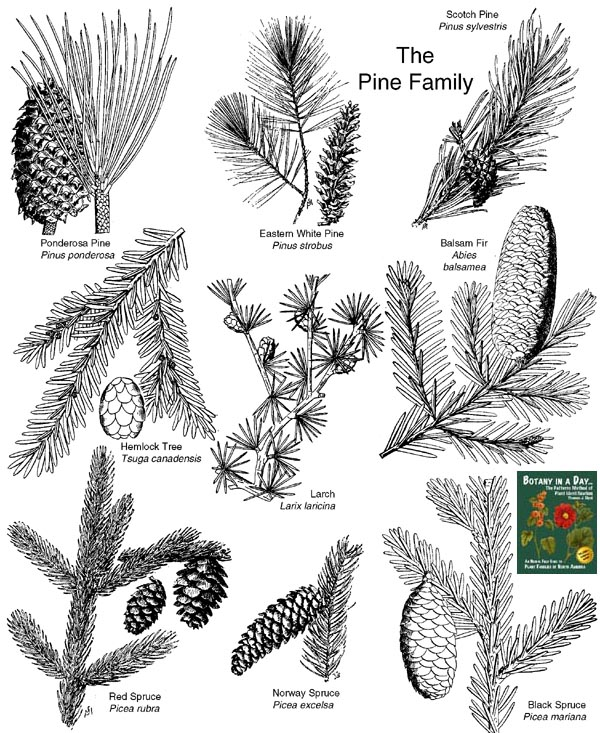 Pinaceae Pine Family Identify Shrubs And Trees