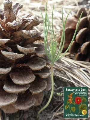 Pinaceae: Pine Family  Identify shrubs and trees