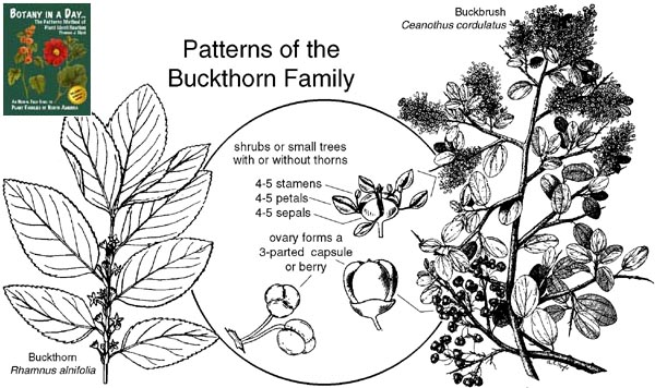 Rhamnaceae Buckthorn Family Identify Plants Flowers Shrubs And