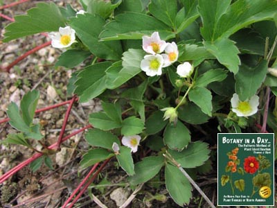 Rosaceae rose family identify plants flowers shrubs and trees wild strawberry mightylinksfo